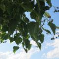 Detail der Linde für jene, die zum Baum fahren