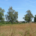 Die Birkenallee an der Weiherholzstrasse Pt. 3