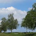 Birkenallee im Sommer vom Weg zur Föhre aus gesehen Pt. 2