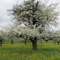 blühende Hochstammbäume