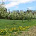 Birnbaumreihe an dem der Wanderweg vorbeiführt und die unterdessen gefällt wurde