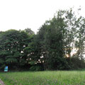 Die Robiniengruppe beim Reservoir Oberaach beim Pt. 7