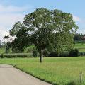 Der Nussbaum im Hosebündel Pt. 12
