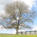 Der Nussbaum beim Punkt 9
