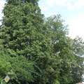 Die Bäume des Schlössliparkes gucken über den Hag Pt. 11