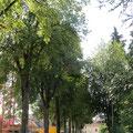 Die Lindenhalballee an der Nordstrasse Pt. 2