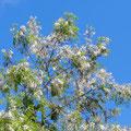 blühender Akazienbaum