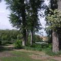 Akazienbaum am Teich