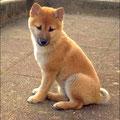 Yuki, 3 mois, shiba inu. Petite bouille de renard pour un tempérament de feu. Elle est l'élément perturbateur des séances récréatives collectives.