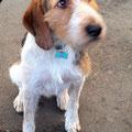 Randy, 1 an, croisé beagle et griffon. Jeune chien très dynamique et incontrôlable. Des exercices d'éducation pour lui ainsi que des explications et mises en pratique pour que sa maîtresse comprenne la psychologie canine : et voilà!