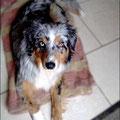 Luna, 1 an, berger australien. Petite chienne peureuse, la dogothérapie avec Draka lui a permis de prendre confiance en elle et en l'espèce humaine. Le contact avec les enfants lui a également été très profitable.