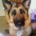 Apis, 5 ans, berger allemand. Maline, tentait de prendre la place de femelle alpha au sein de la famille. Débordante d'énergie, cette superbe chienne obéit maintenant avec plaisir et dévouement à sa maîtresse adorée.