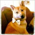 """Kenzo, 10 mois, shiba inu. Il souffrait d'accès d'agressivité (morsures) et du regard du """"chien fou"""". Avec des consignes précises au niveau gestes et intonation pour savoir comment gérer ces moments délicats, sa maîtresse a pû mettre fin à ces soucis."""