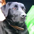 Géo, 1 an, croisé labrador et braque. Rescapé de l'autoroute, très peureux à son arrivée. Nette amélioration après un travail de sociabilisation et de dogothérapie guidé par Draka.
