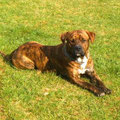 Tyson, 2 ans, croisé rotweiler et dogue argentin. Boule de muscles et boule d'amour. Emotif, il doit être bien canalisé.