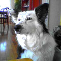Iena, 6 ans, croisée colley et border collie. Supers aptitudes et grande sagesse. Son regard en dit long... Partager des séances de jeu avec d'autres chiens lui a permis de se dépenser.