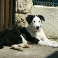 Guillie, 6 mois, border collie. Jeune chienne de physique et d'esprit très vifs. Avec de la patience et de la ténacité, deviendra très obéissante.