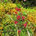 Bruyère endémique (Daboea azorica)