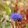 Jasione des montagnes et Citron (Jasiona montana et Gonopteryx rhamni)