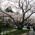 竜王山は桜の名所でもあります