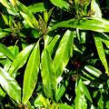 aucuba salicifolia