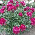 paeonia karl rosenfield
