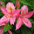 rhododendron jolie madame (azalee)