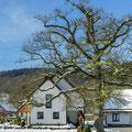 Stieleiche Kückelheim