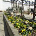 2012 春 エントランス植え込み/パンジーで元気よく