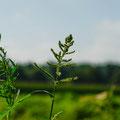 vereinzelte Hühnerhirse steht noch - dahinter das niedergemetzelte Feld -