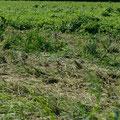 ein paar Tage später war es vom Bauern niedergemetzelt, da sich die Hirse per Wind leicht weiterversät und dadurch die von ihm angebauten Pflanzungen stört