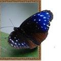 額から飛び出す蝶