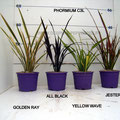phormium golden ray, all ray, yellow wave, jester