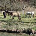 Reitpferde an der Aach                   Foto: Martin Knaus