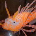 Suzie - a goldfish