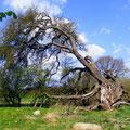 Der Wildapfelbaum in Stubbendorf