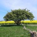 Baum auf dem Riesenberg bei Nobbin