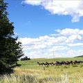 Staub zog auf, als die Herde wilder Pferde des Gestüts Ganschow über die Koppel stürmte.