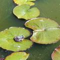 Der Froschkönig im Teich des Botanischen Gartens