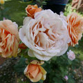 Wunderschöne Rosen, aber die meisten waren aufgrund der Wärme und Trockenheit schon verblüht.