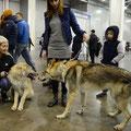 Тундровый волк Сева и Вульф