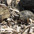 Die Guten Morgen Schildkröte