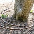 automatische Bewässerung für große Bäume und Pflanzen in Würzburg und Umgebung