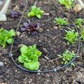 Bewässerung von Salat- und Gemüsebeeten Gärtnerei Hupp in Höchberg bei Würzburg