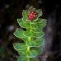 Rosenwurz; Rhodiola rosea L.