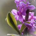 Gewöhnlicher Seidelbast; Daphne mezereum L.
