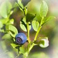 Blaubeere, Heidelbeere; Vaccinium myrtillus syn. Myrtillus nigra