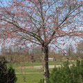 2017 1. Baum blüht