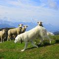 Herdenschutzhund, Schafe und Aussicht nach Baumgartenflue, Grönflue.