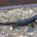 Heute haben wir viele Alpin-Salamander gesehen